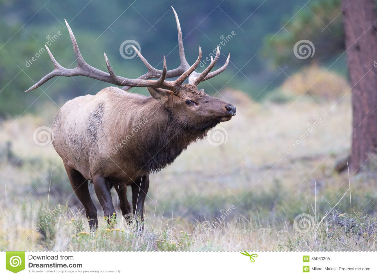 Big daddy elk