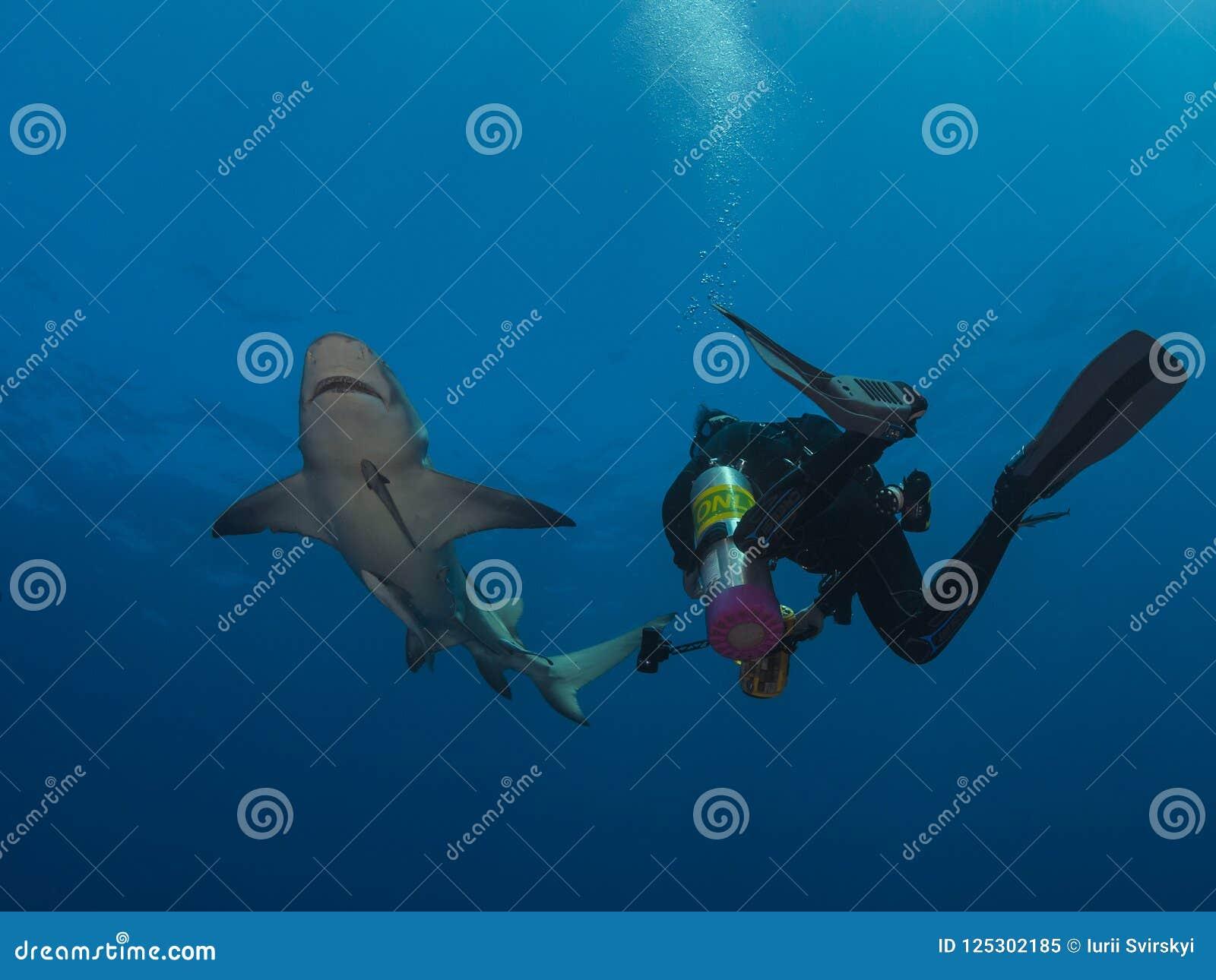 Big dangerous lemon shark swim close around scuba diver on blue ocean background