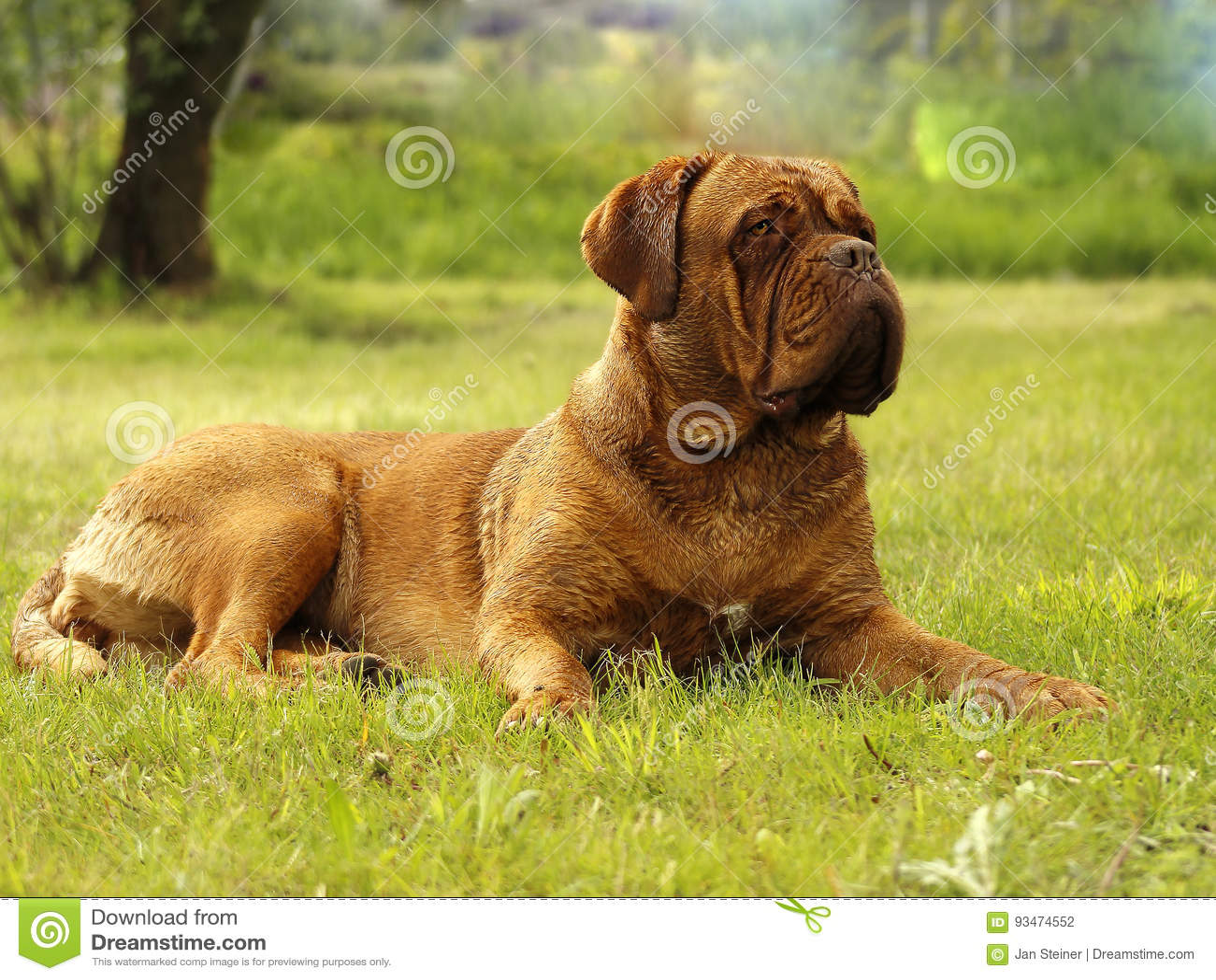 Big Dog - Bordeaux Mastiff