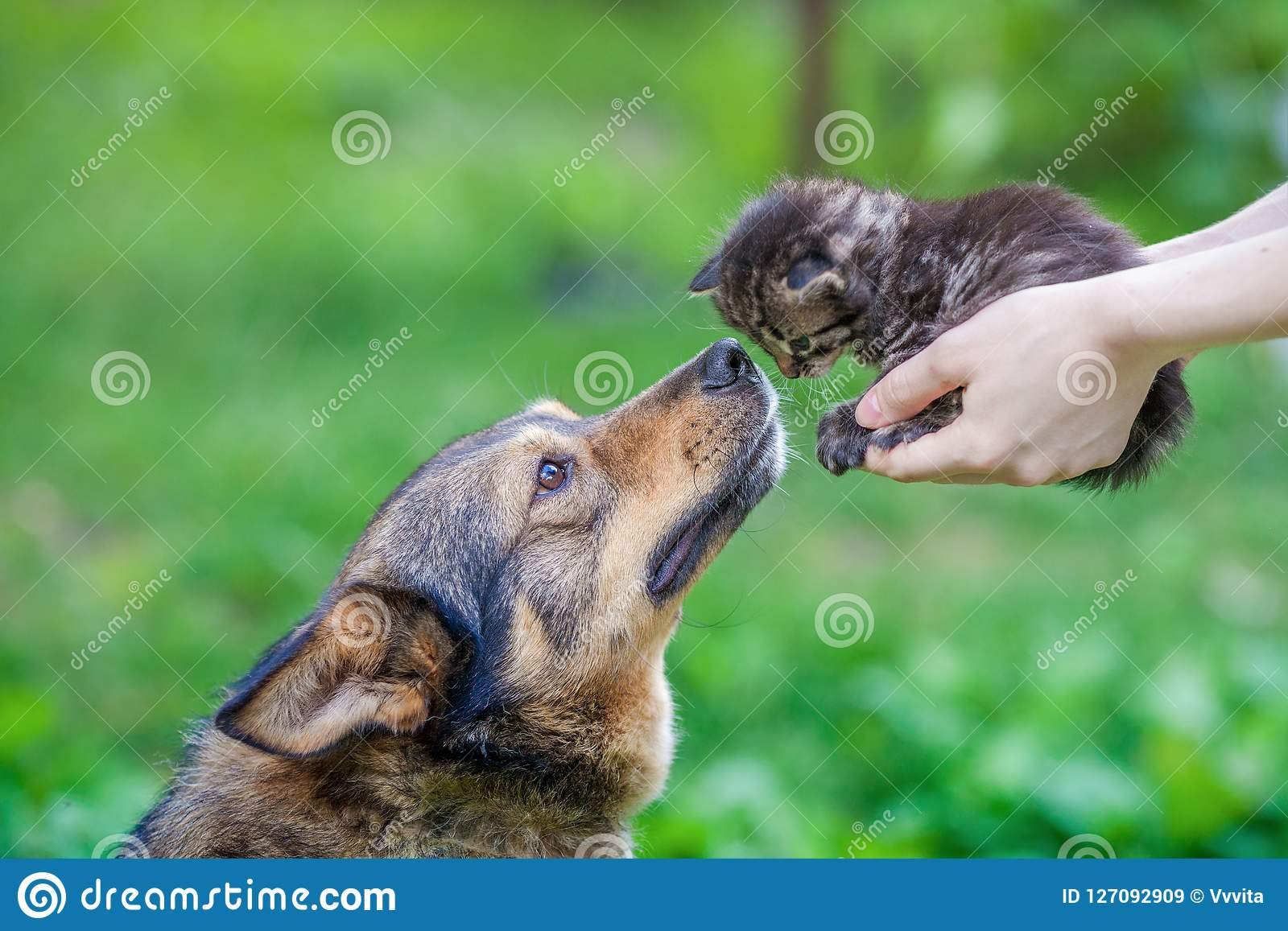 A large dog sniffing a small kitten