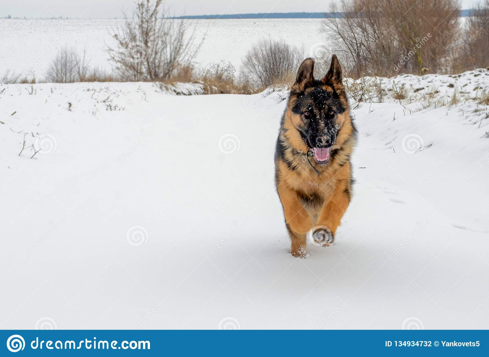 The big dog quickly runs on white snow