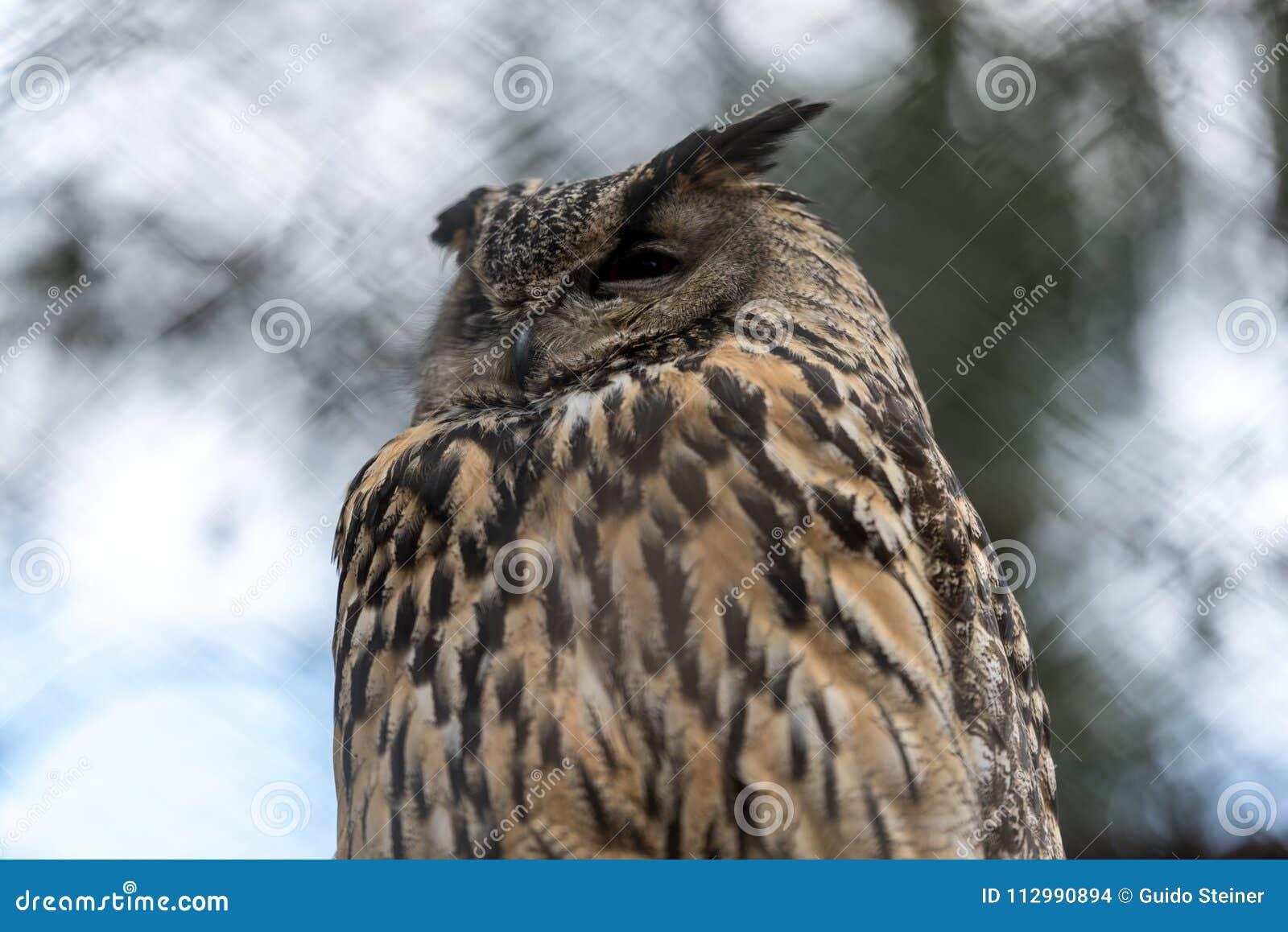 Big eagle owl