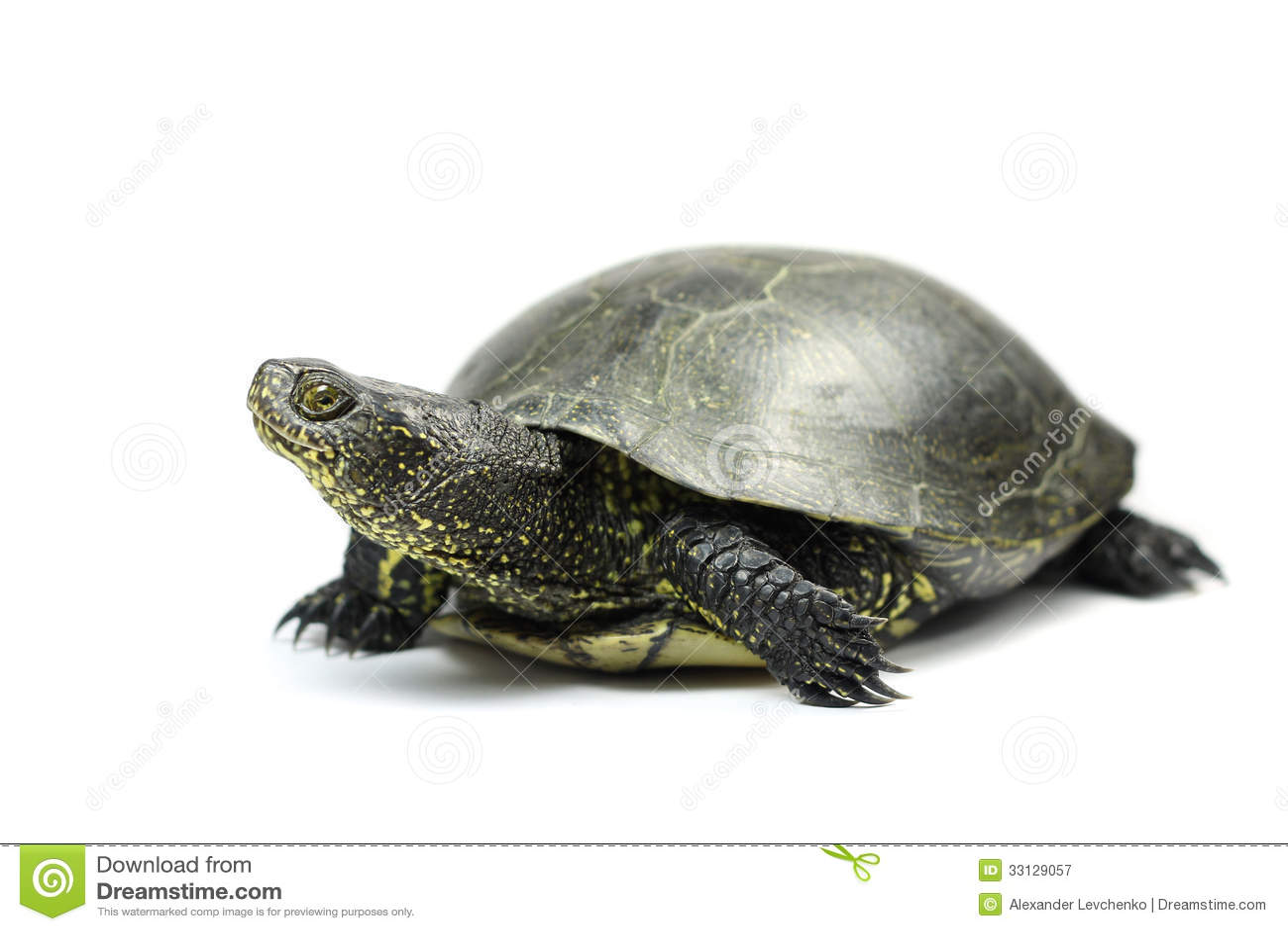 turtle white background - photo #35