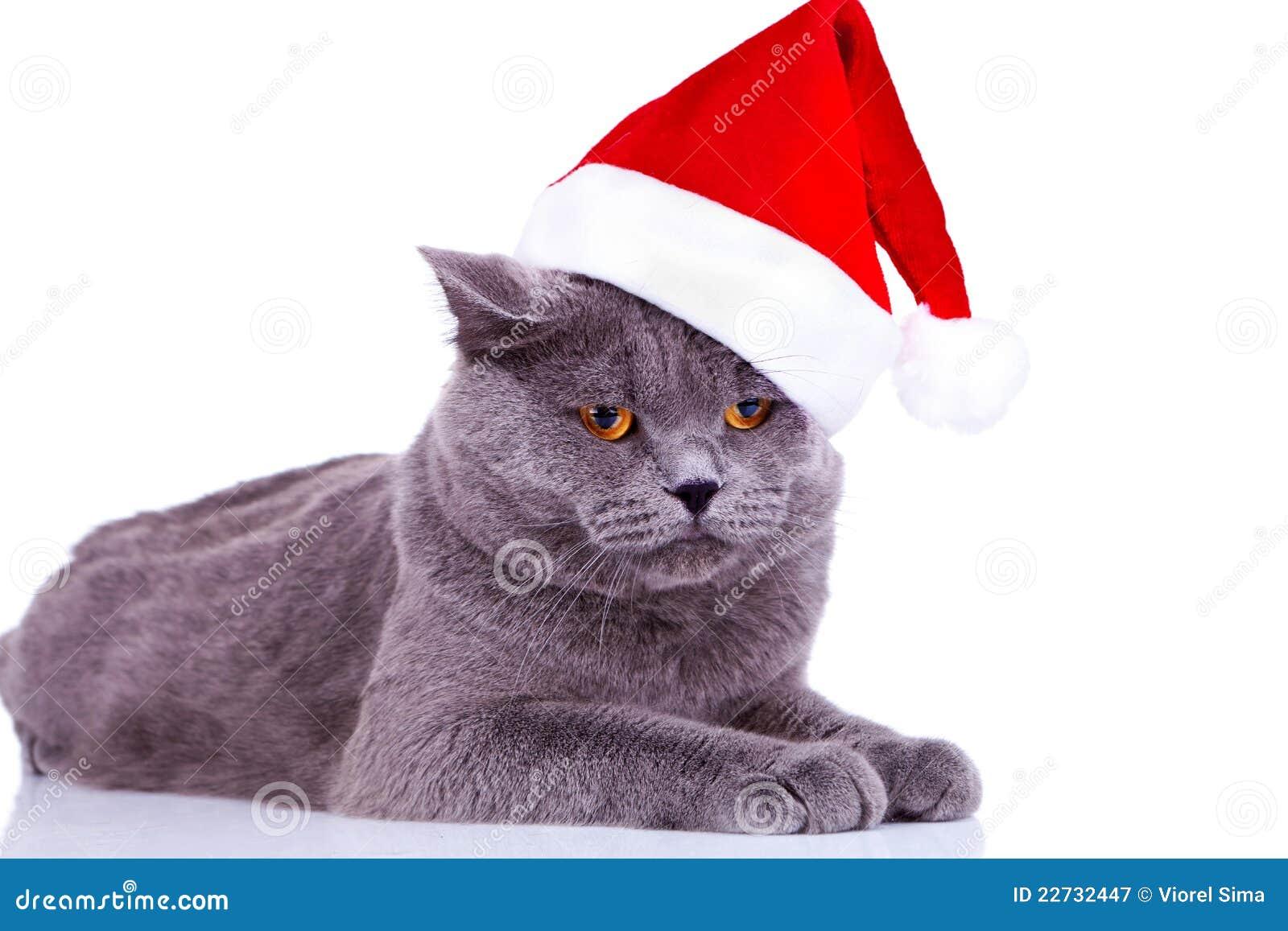 Big English Cat Wearing A Santa Hat Stock Image Image