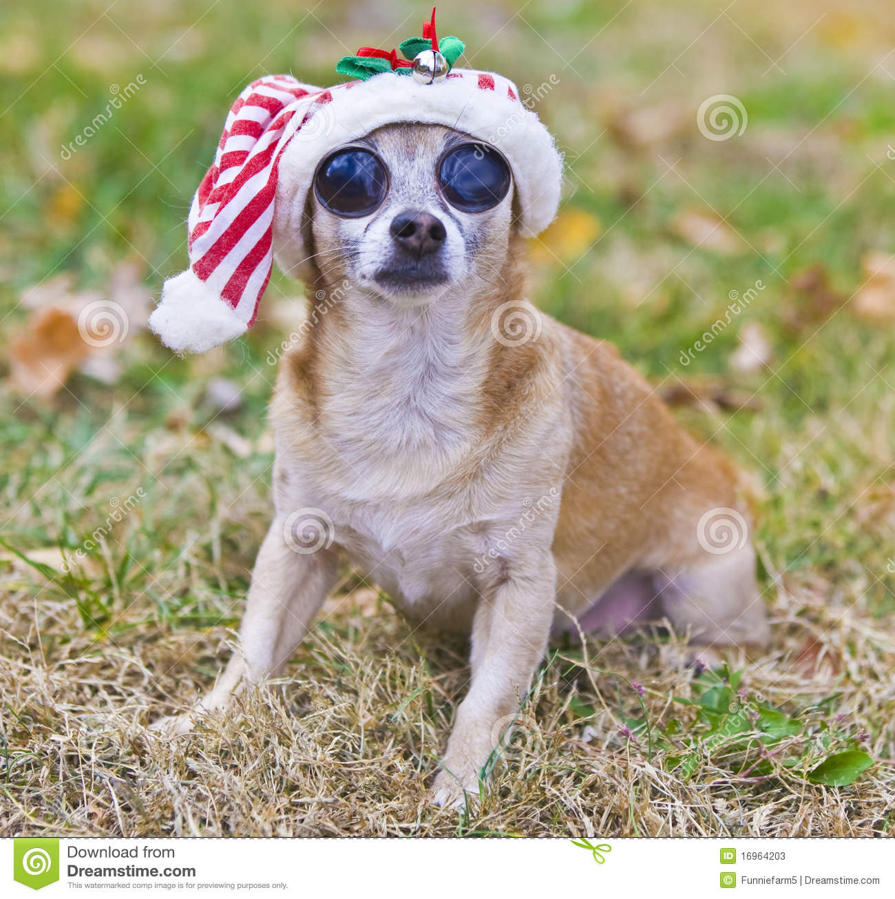 Big Eyed Chihuahua With Christmas Hat Outside Stock Photos