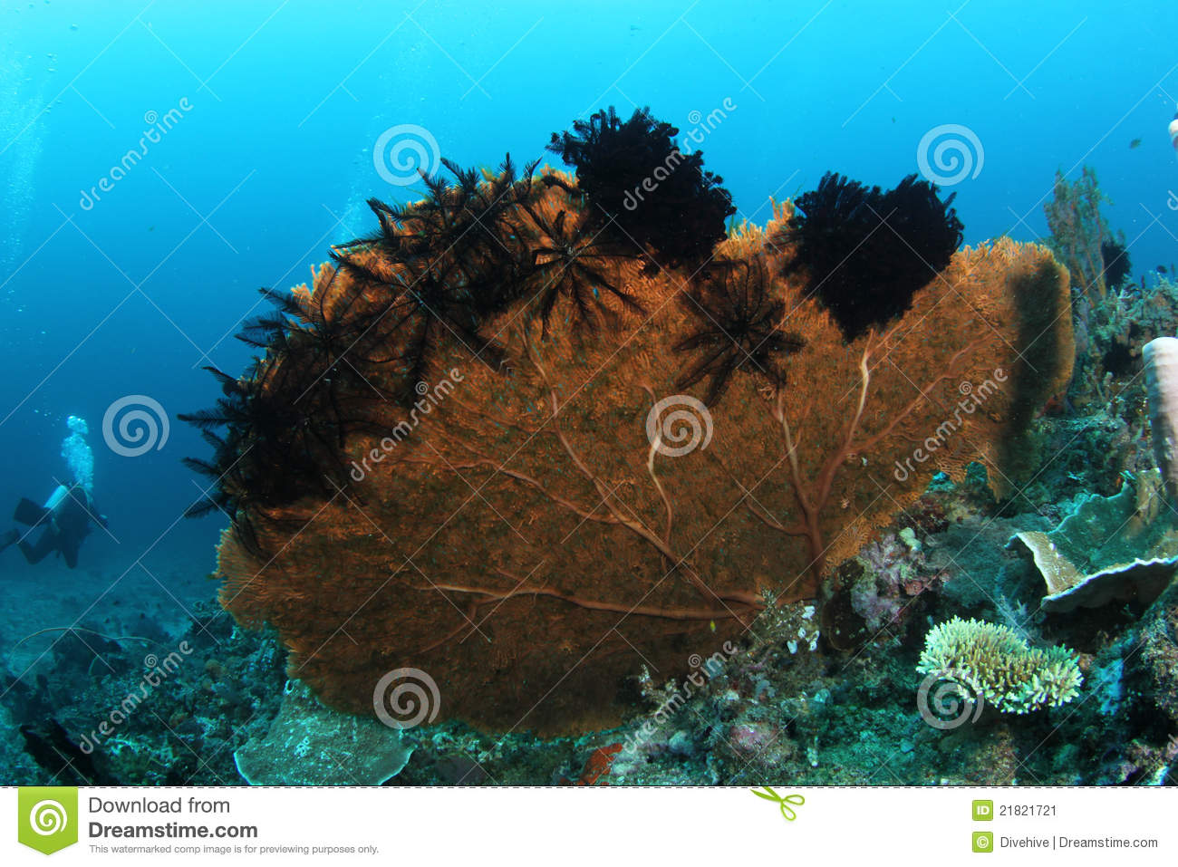 Big fan coral with feather stars