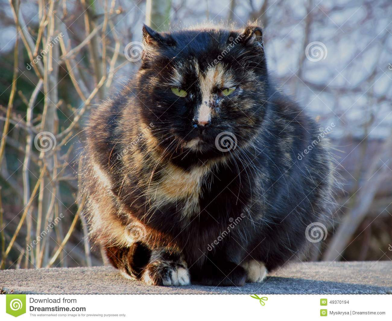 Big Fat Angry Cat Stock Photo. Image Of Fierce, Animal