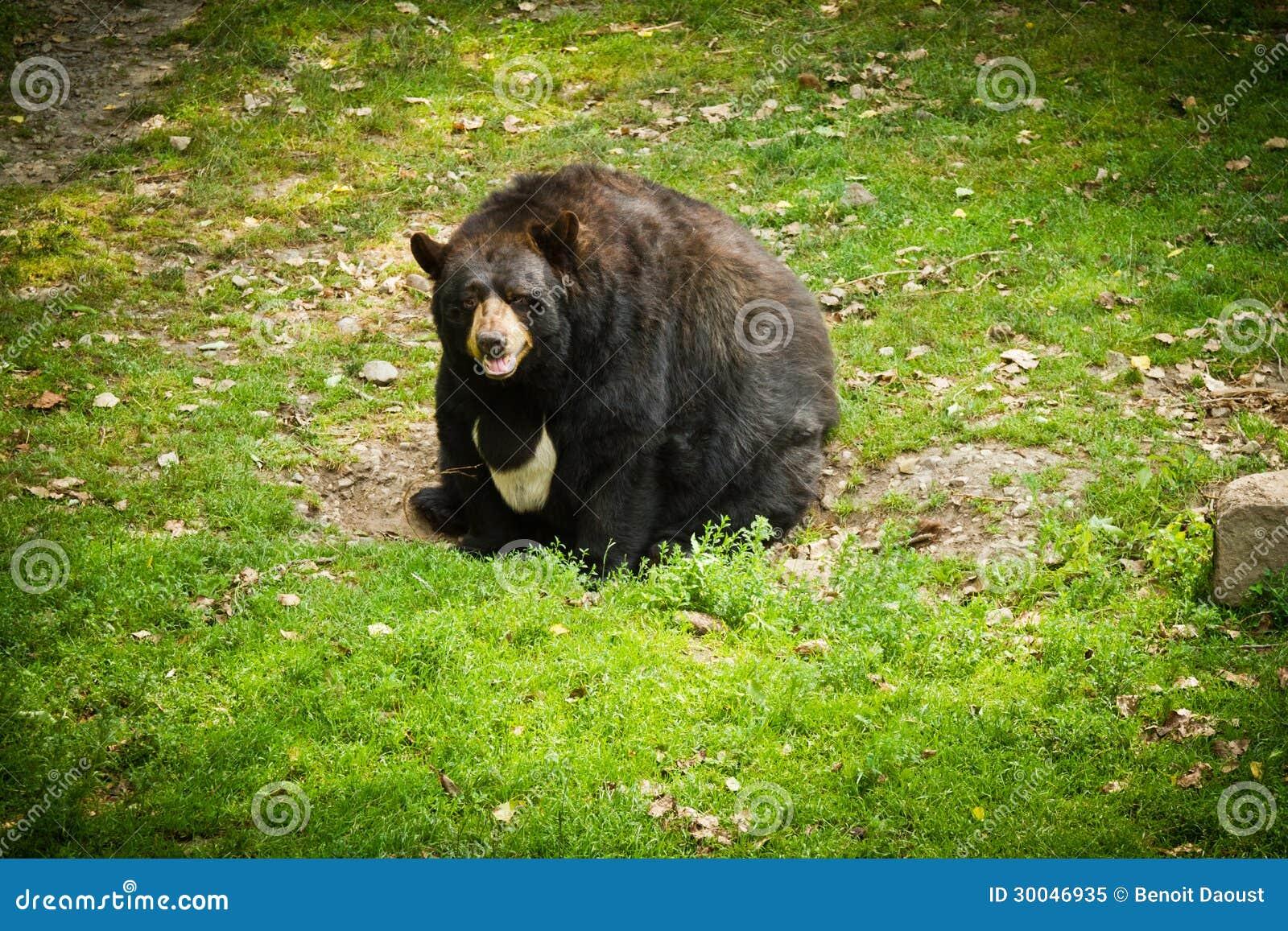 fat bear royalty free stock photo image 30046935 Free Polar Bear Clip Art Black and White free polar bear clipart