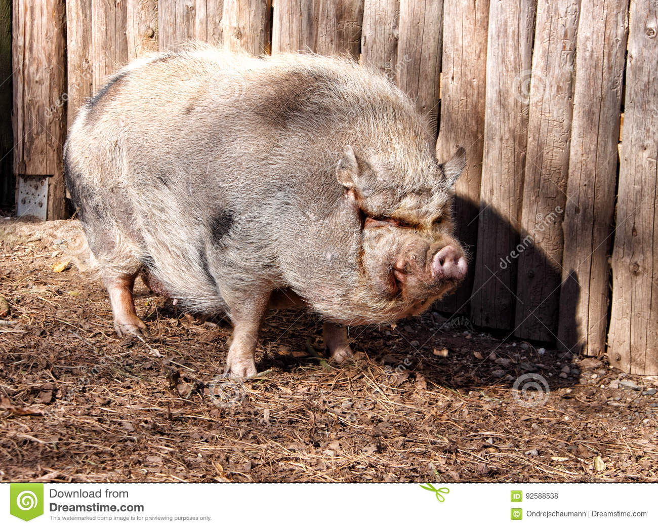 Genetic engineering of animals | TRANSHUMANISM NEWS |Really Fat Pigs