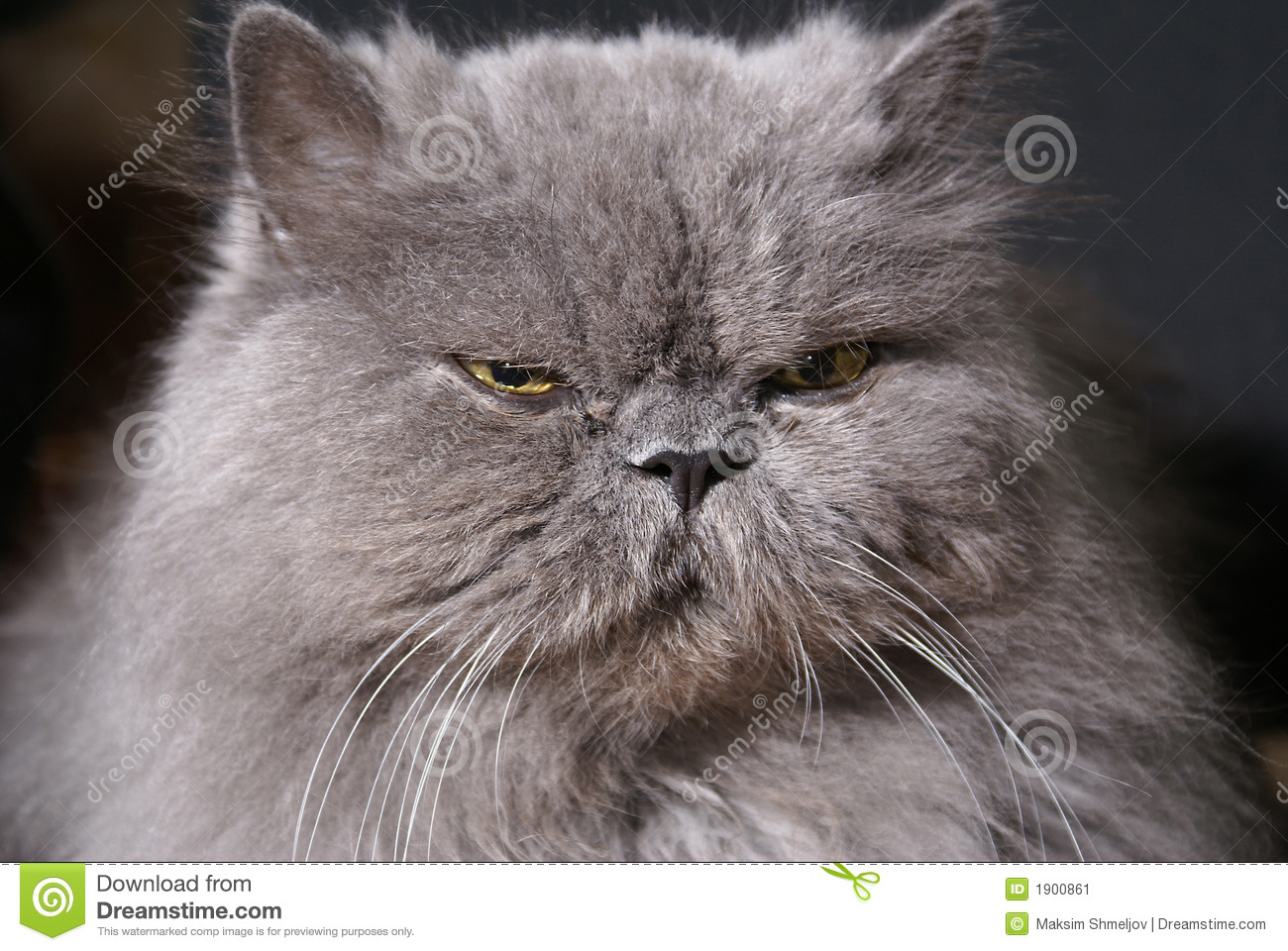 Grey Persian Cat Yellow Eyes Stock 167 s