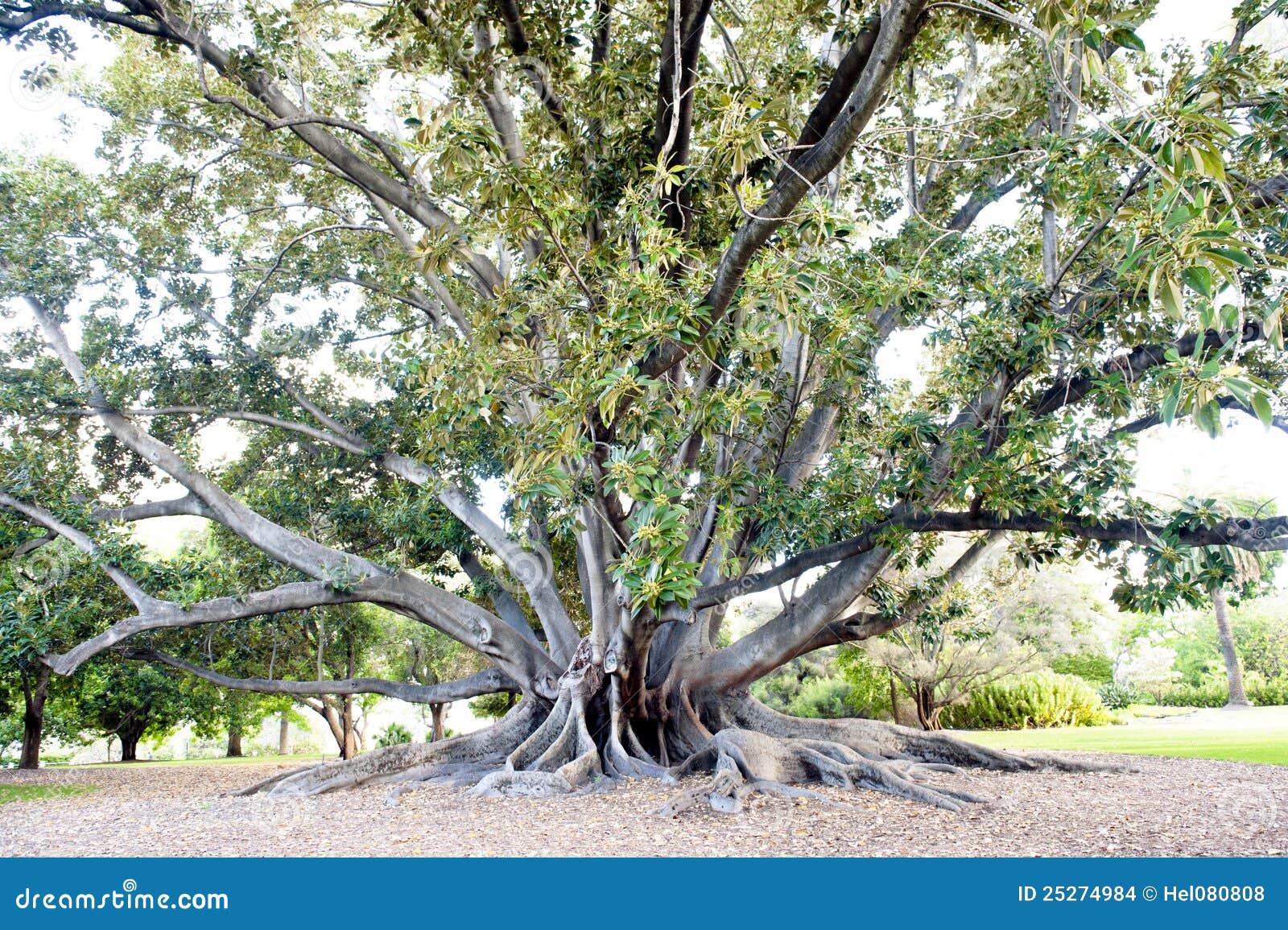 ficus park perth tree - Ficus Trees