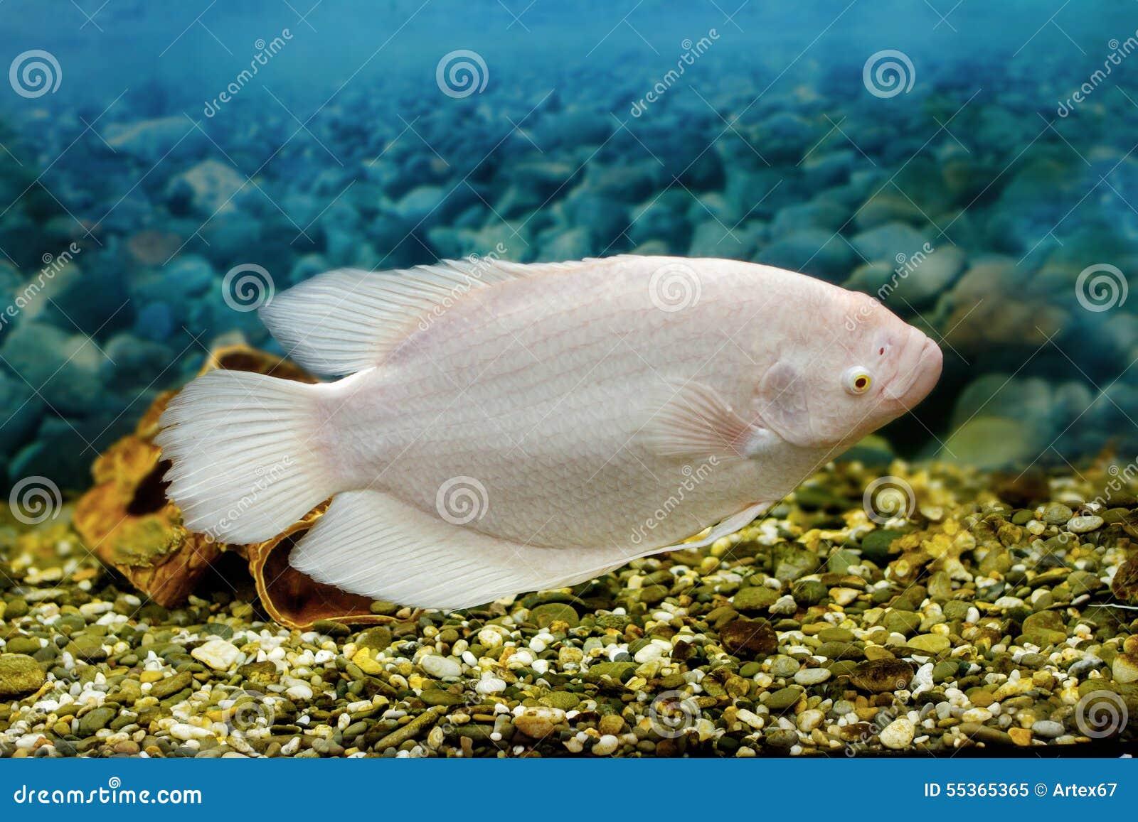 Fish in big aquarium - Big Fish In The Aquarium Gourami Fishing Royalty Free Stock Photo