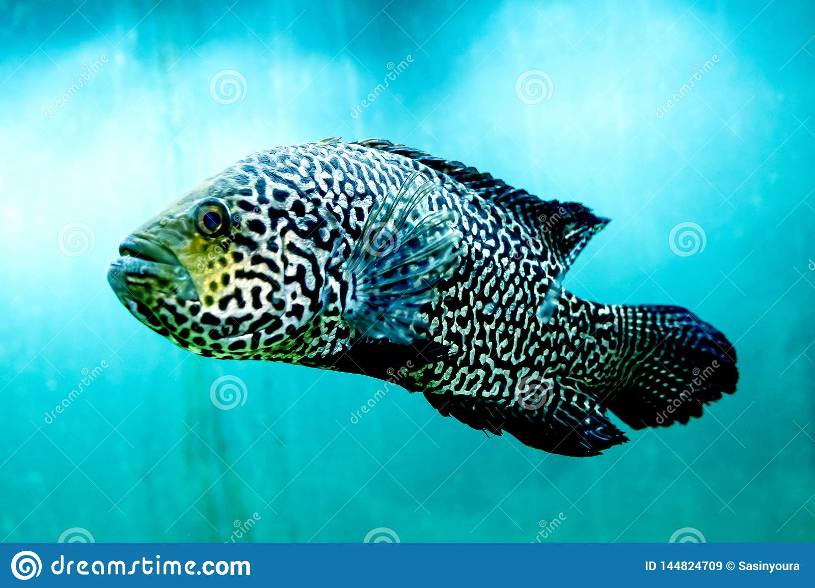 Big fish in clear and clear blue water, close up the beauty of the underwater world