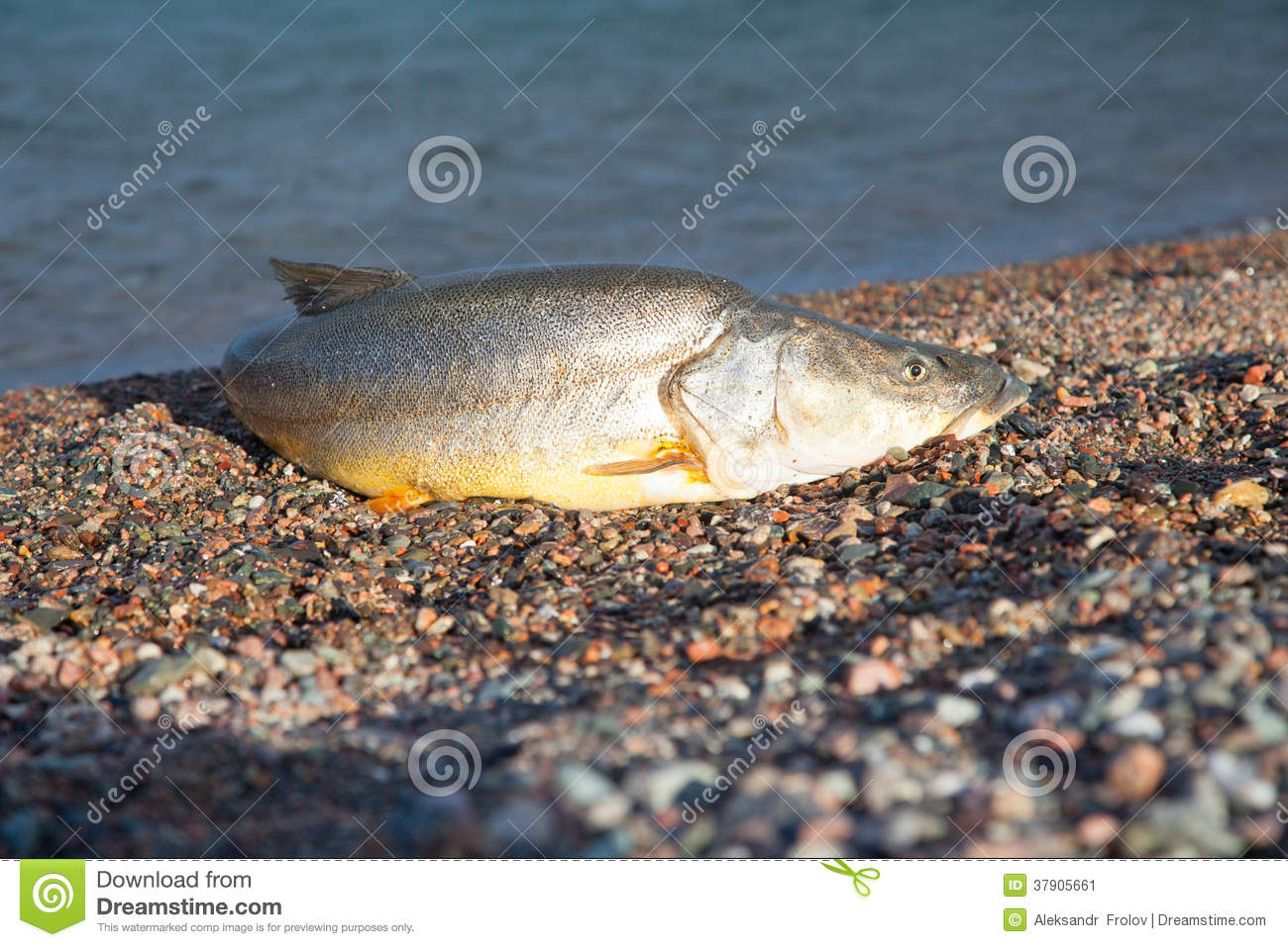 Big Fish Stock Image Image 37905661