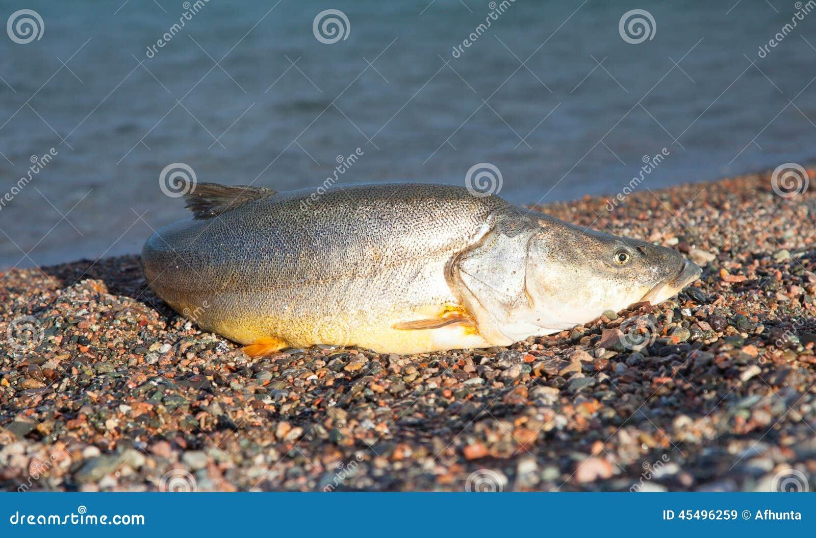 Big fish stock photo image 45496259 for Big fish lake