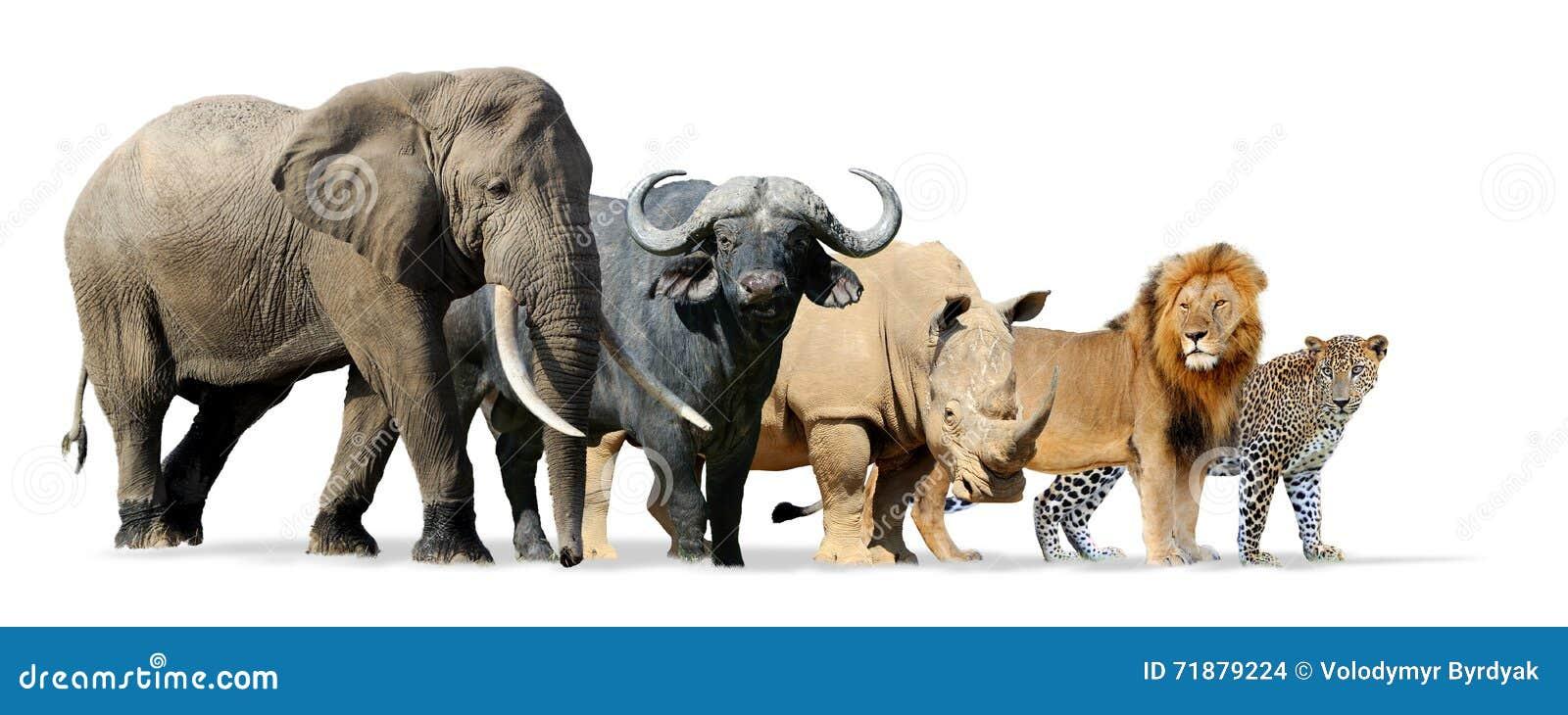big five game isolated on white stock illustration illustration of group kenya 71879224. Black Bedroom Furniture Sets. Home Design Ideas