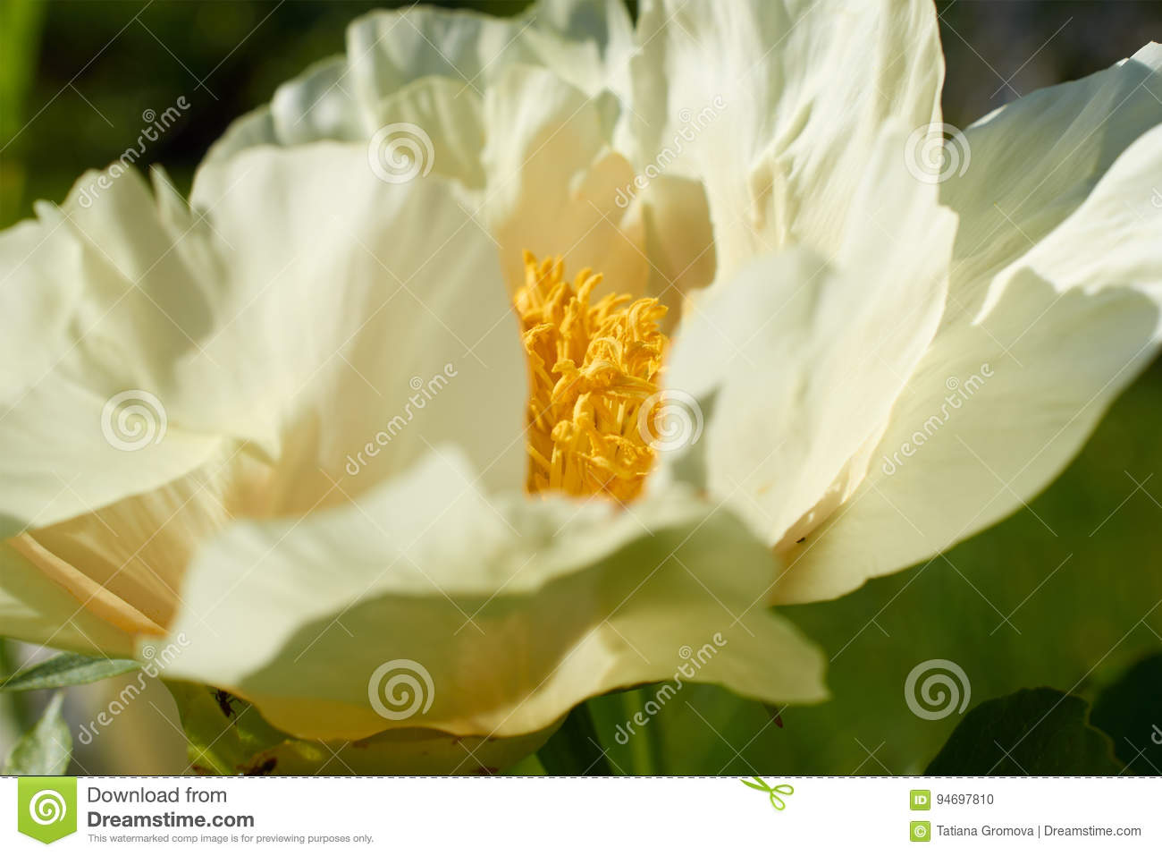 Big Flower With White Petals And Yellow Center Closeup Stock Photo