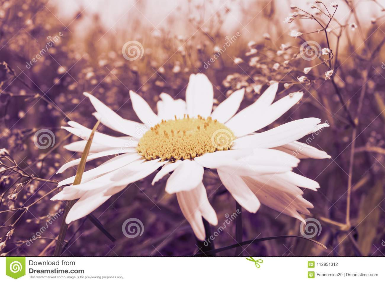 Big Flower With A Yellow Disk And White Rays Stock Photo Image Of