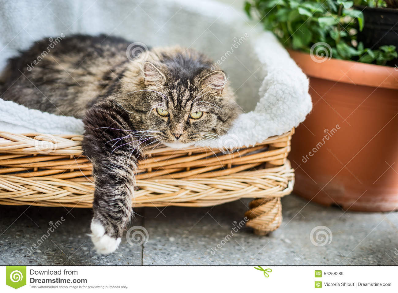 Big fluffy cat lying in wicker chaise sofa couch on balcony or garden terrace