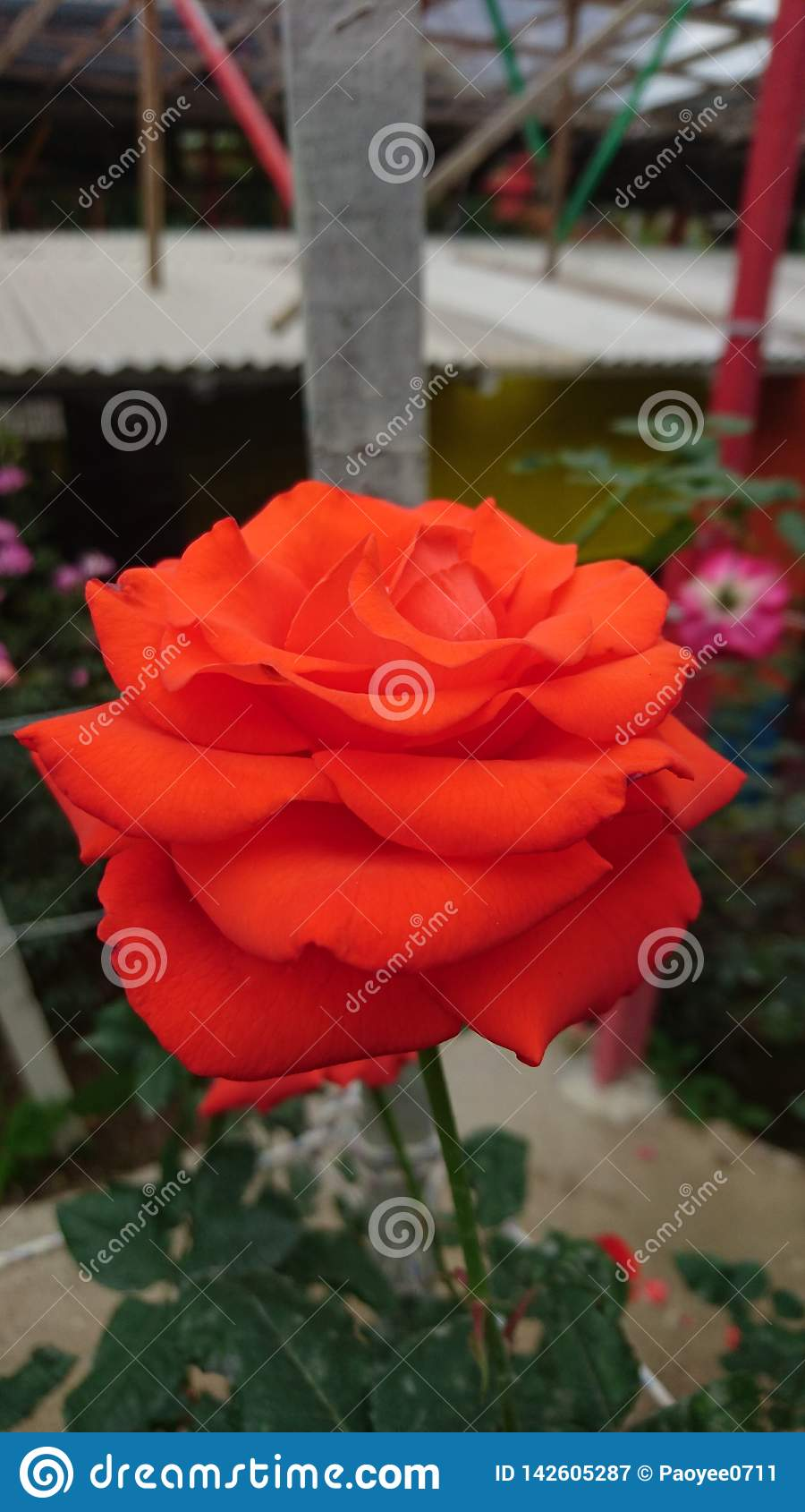 A big freshly red rose