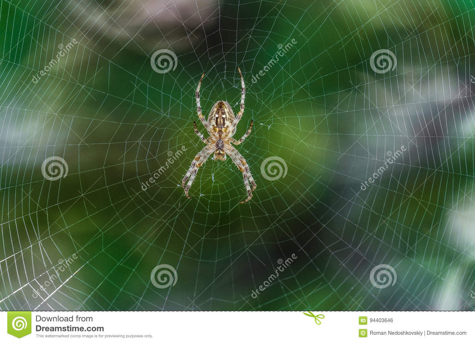 Big Garden,spider Araneus In The Center Of Web. Cobweb With