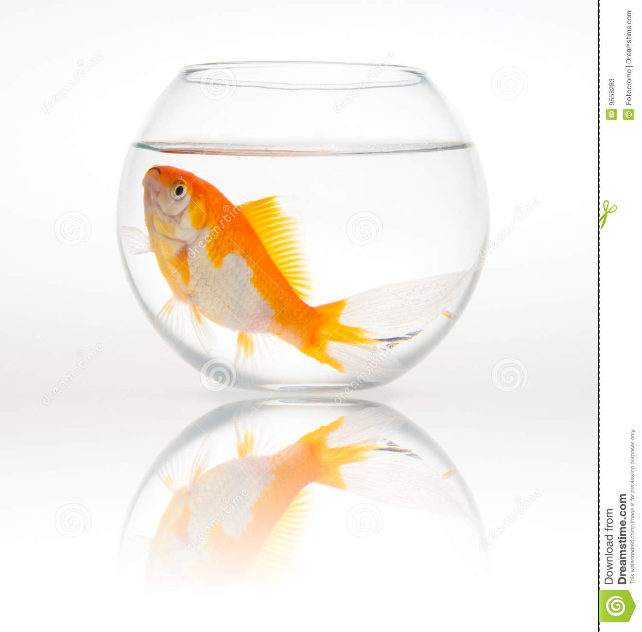 Big goldfish in a small bowl stock photos image 9658283 for Small fish bowl