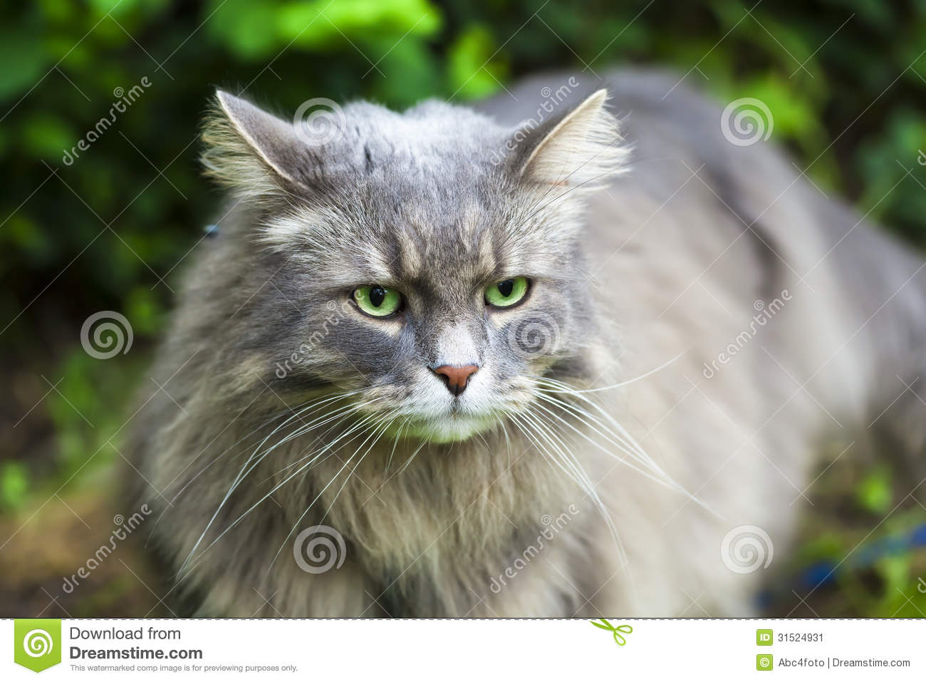 solid gray long hair cat breed