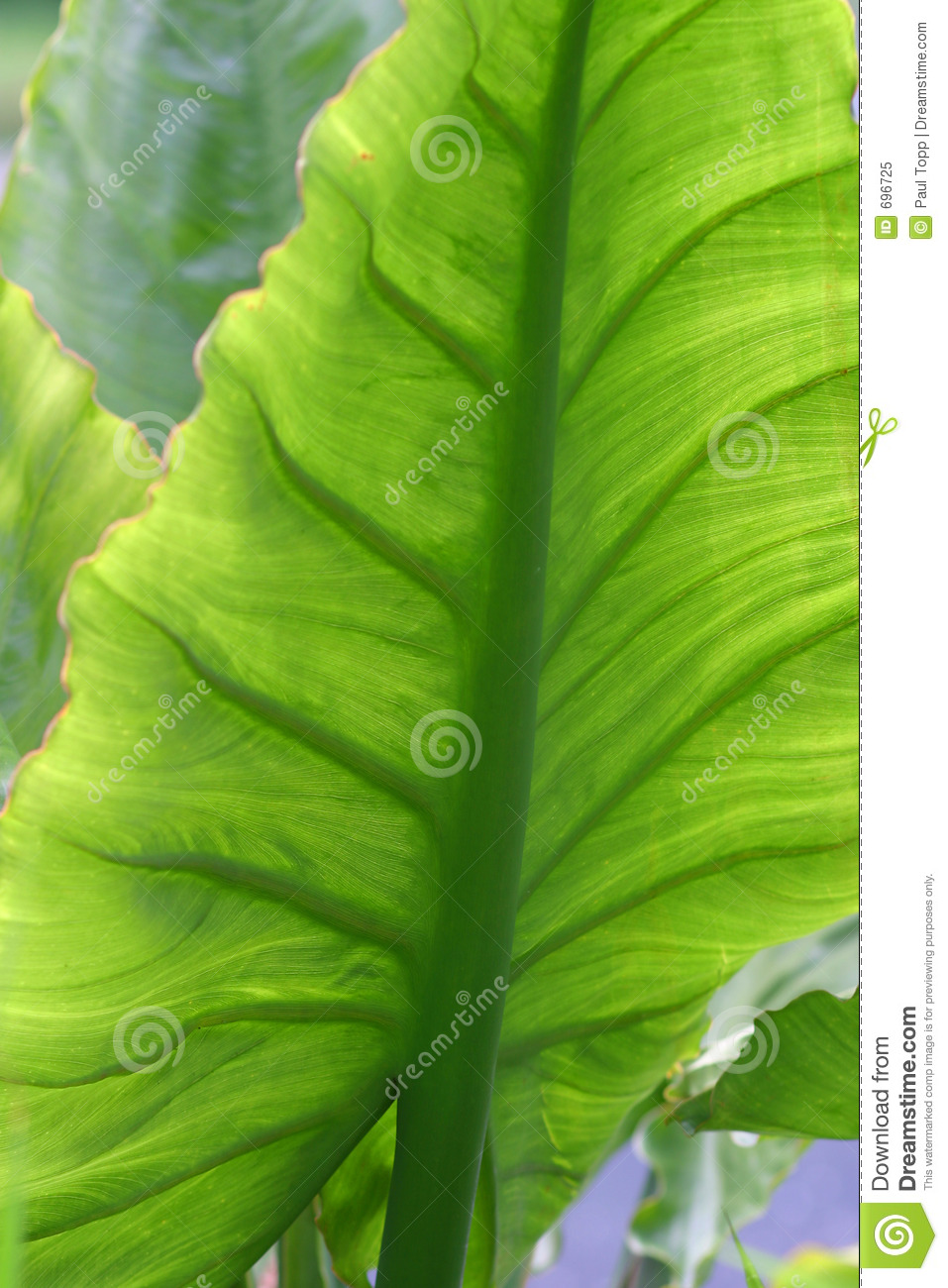 Big Green Leaf