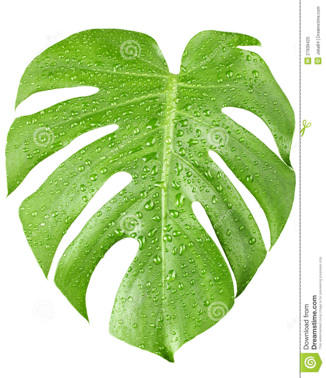 Big Green Leaf Of Monstera Plant With Water Drops Royalty