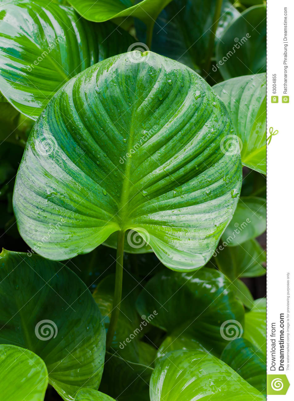 Big Green Leaf Of A Plant Eucharis With Texture Stock