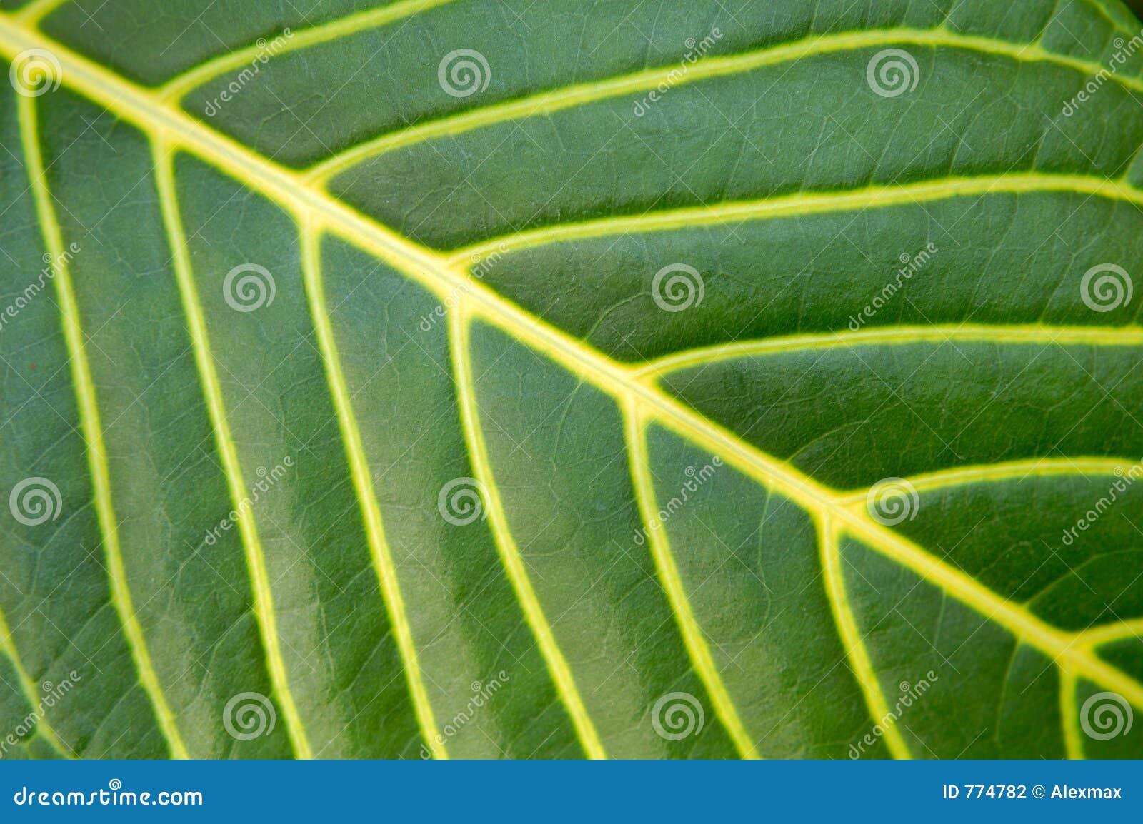 Big Green Plant Leaf Macro Stock Photography Image 774782