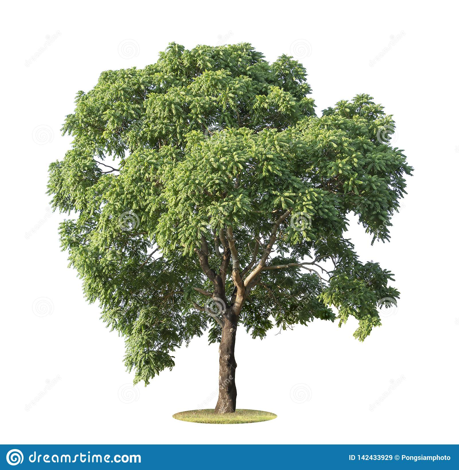 The big and green tree isolated on white background. Beautiful and robust trees are growing in the forest, garden or park