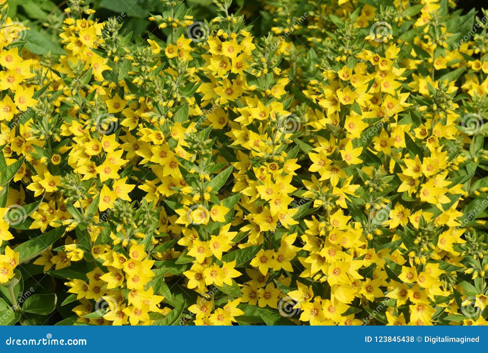 Invasive Garden Plant Yellow Loosestrife Lysimachia Vulgaris Stock