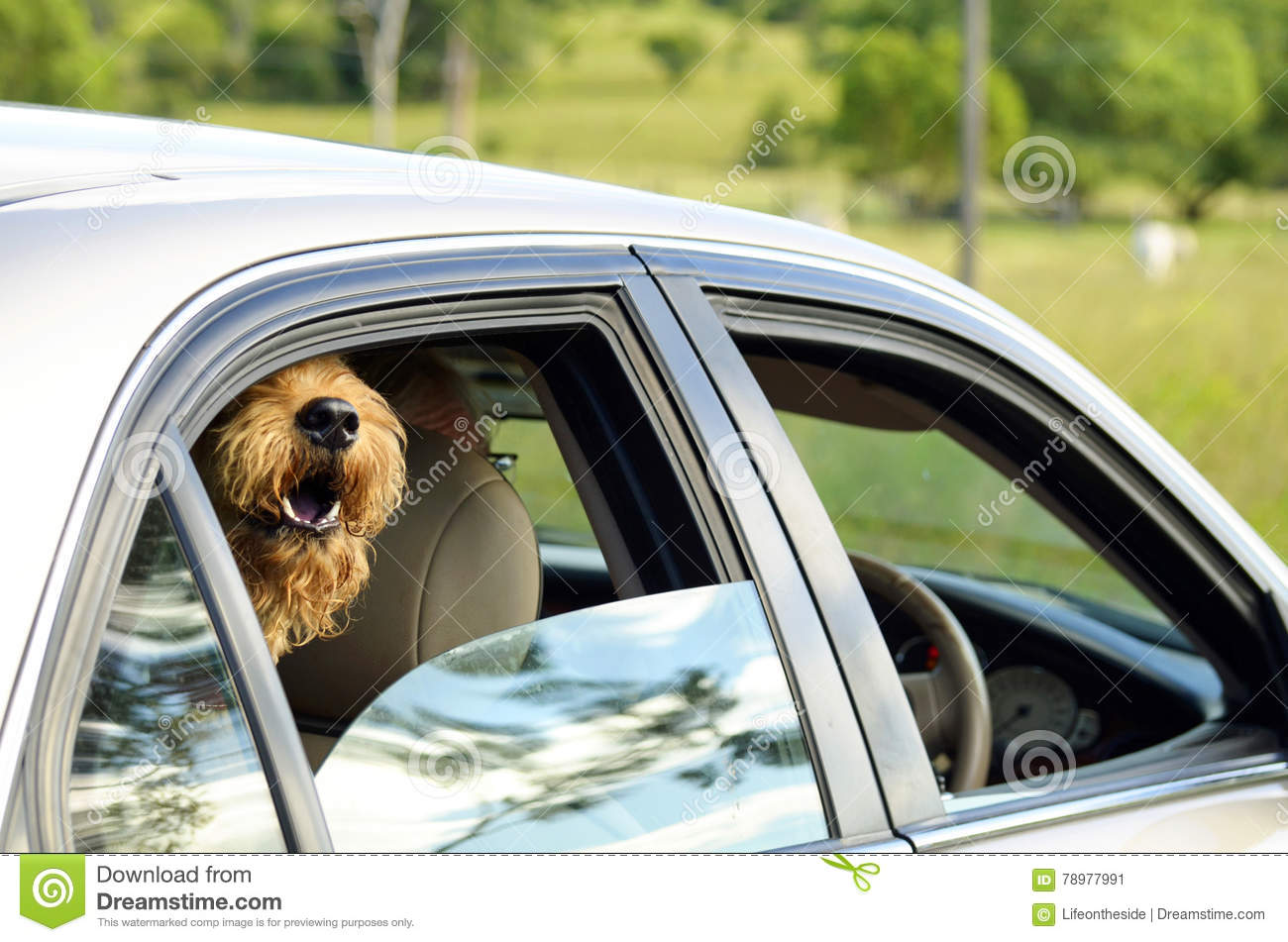 Big happy dog sticking head out car window smiling going for ride