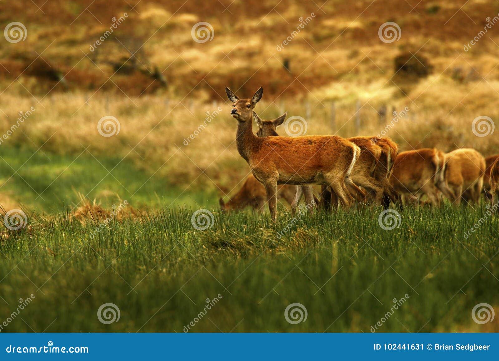 Big Herd of Red Deer during the rut