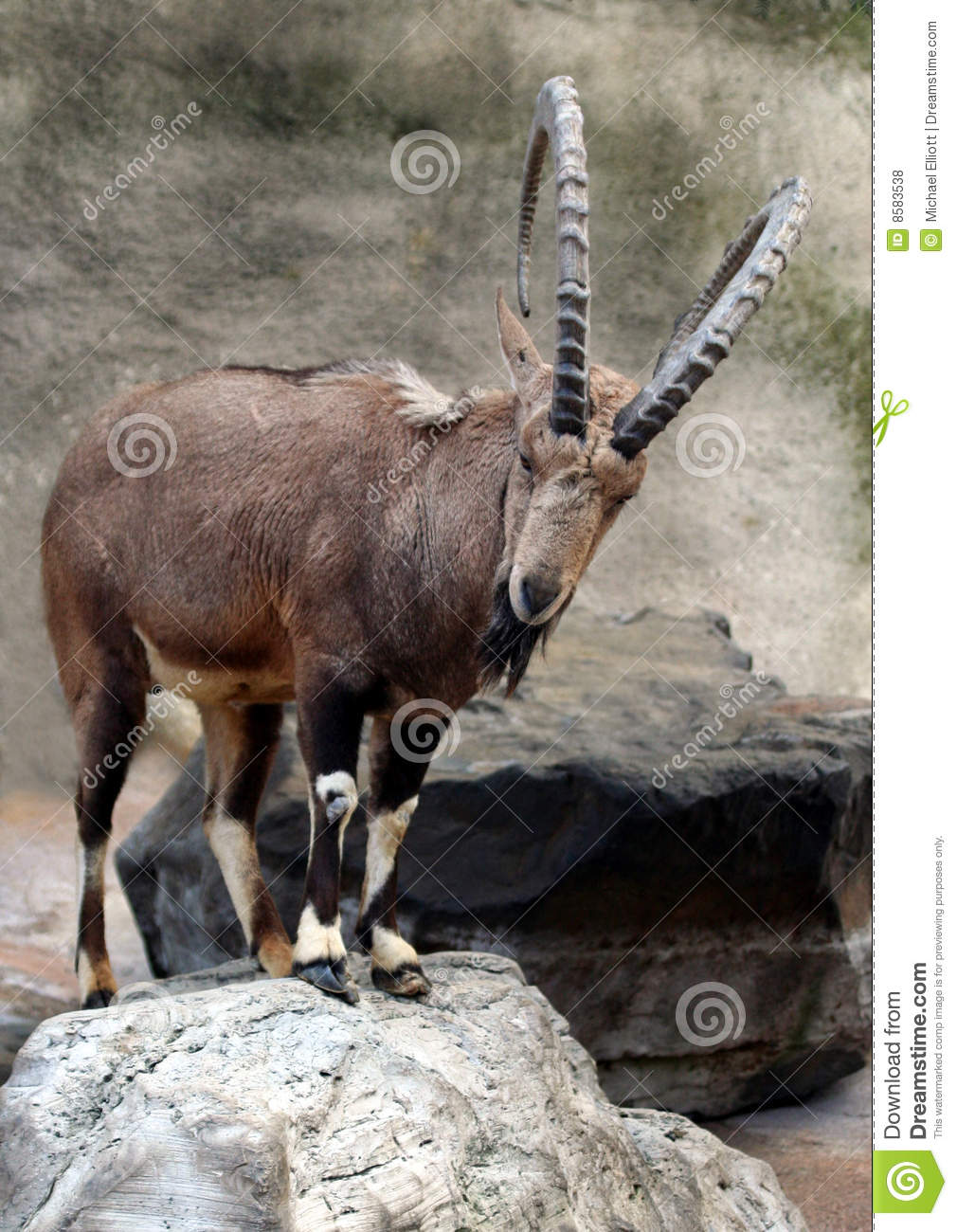 nubian goats with horns