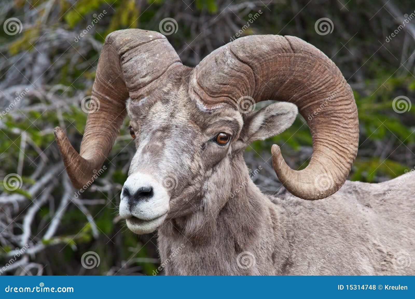 Ram Big Horn >> Big Horn Sheep Royalty Free Stock Photos - Image: 15314748