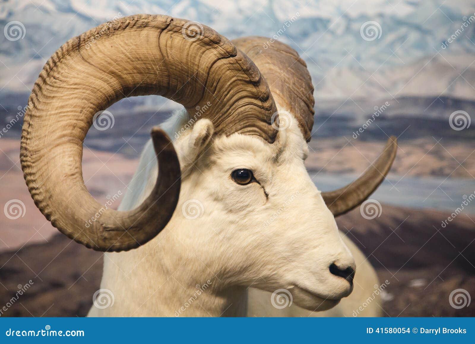 Big Horn Sheep Close
