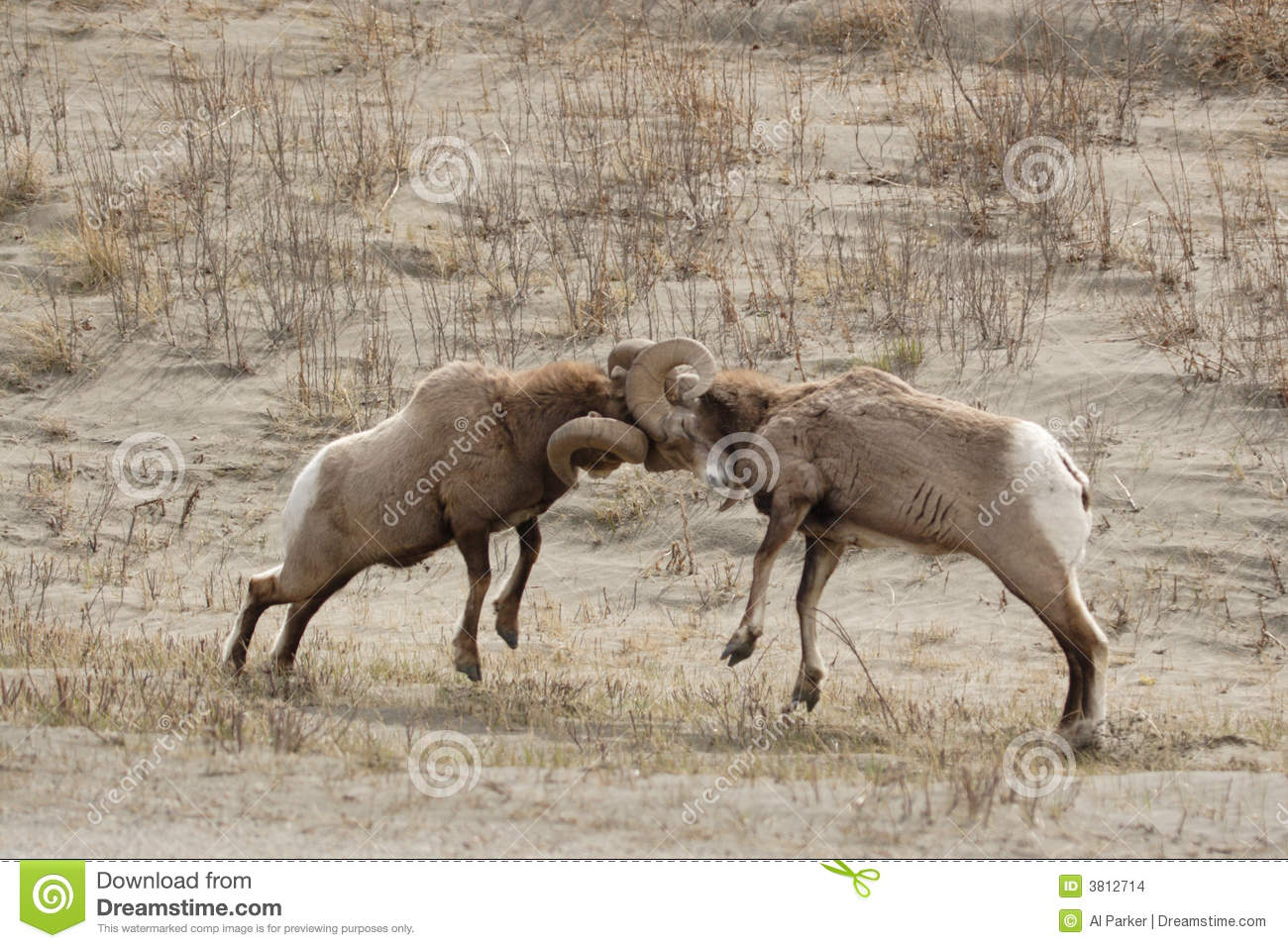 Big Horn Sheep Fighting. Stock - 209.8KB