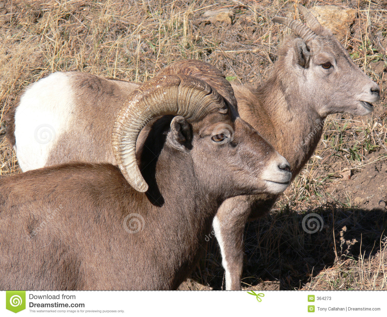Big Horn Sheep Ram and Ewe