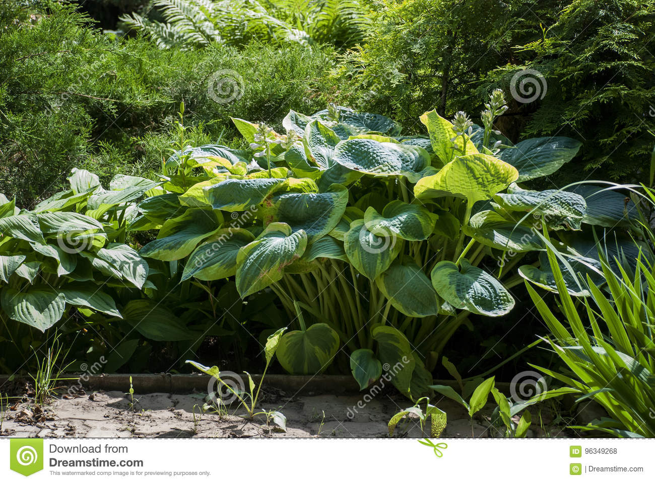Big Hosta In Full Sun Stock Photo Image Of Natural Lifestyle 96349268