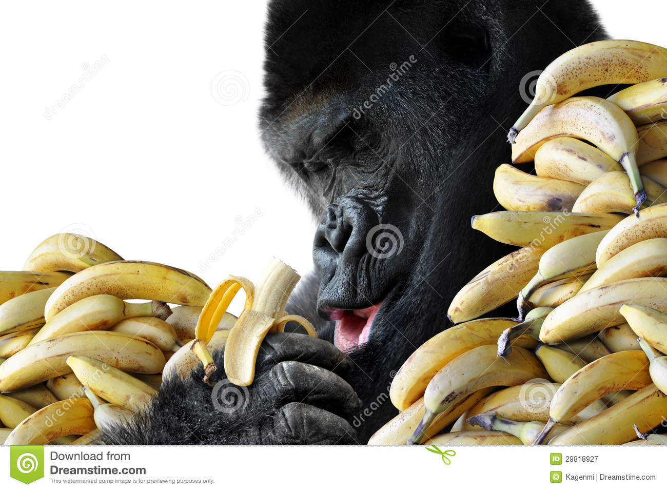 Big Hungry Gorilla Eating A Healthy Snack Of Bananas For Breakfast ...