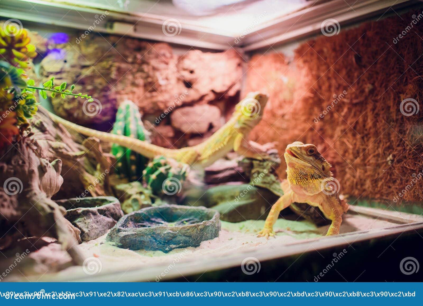 Big Iguana Lizard In Terrarium Animal Background Stock Photo