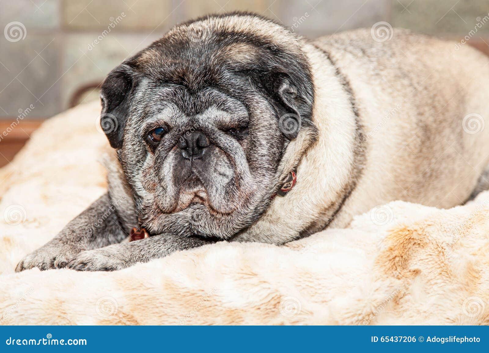Big Lazy Dog Breeds
