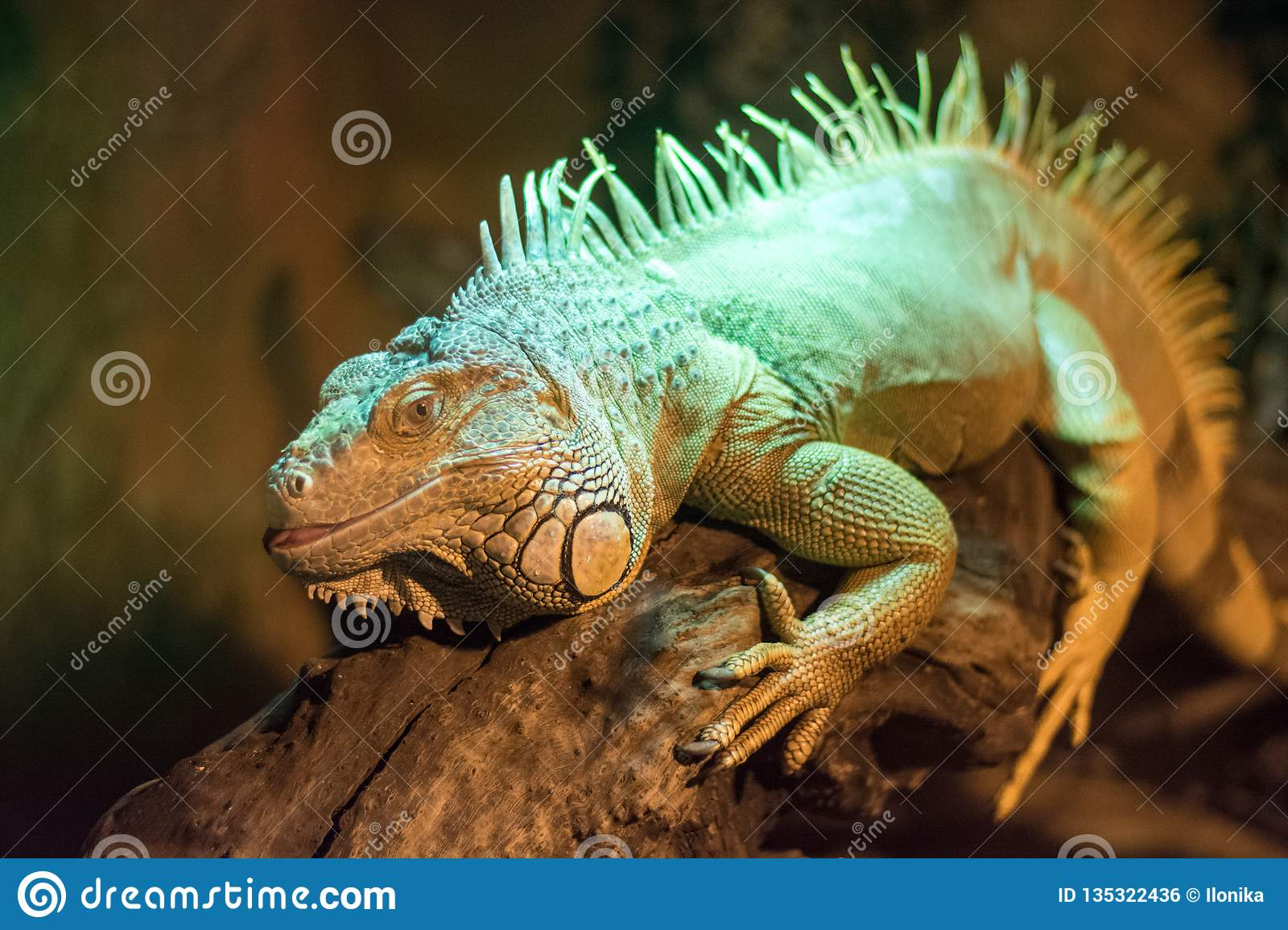 Big lizard sits on a branch