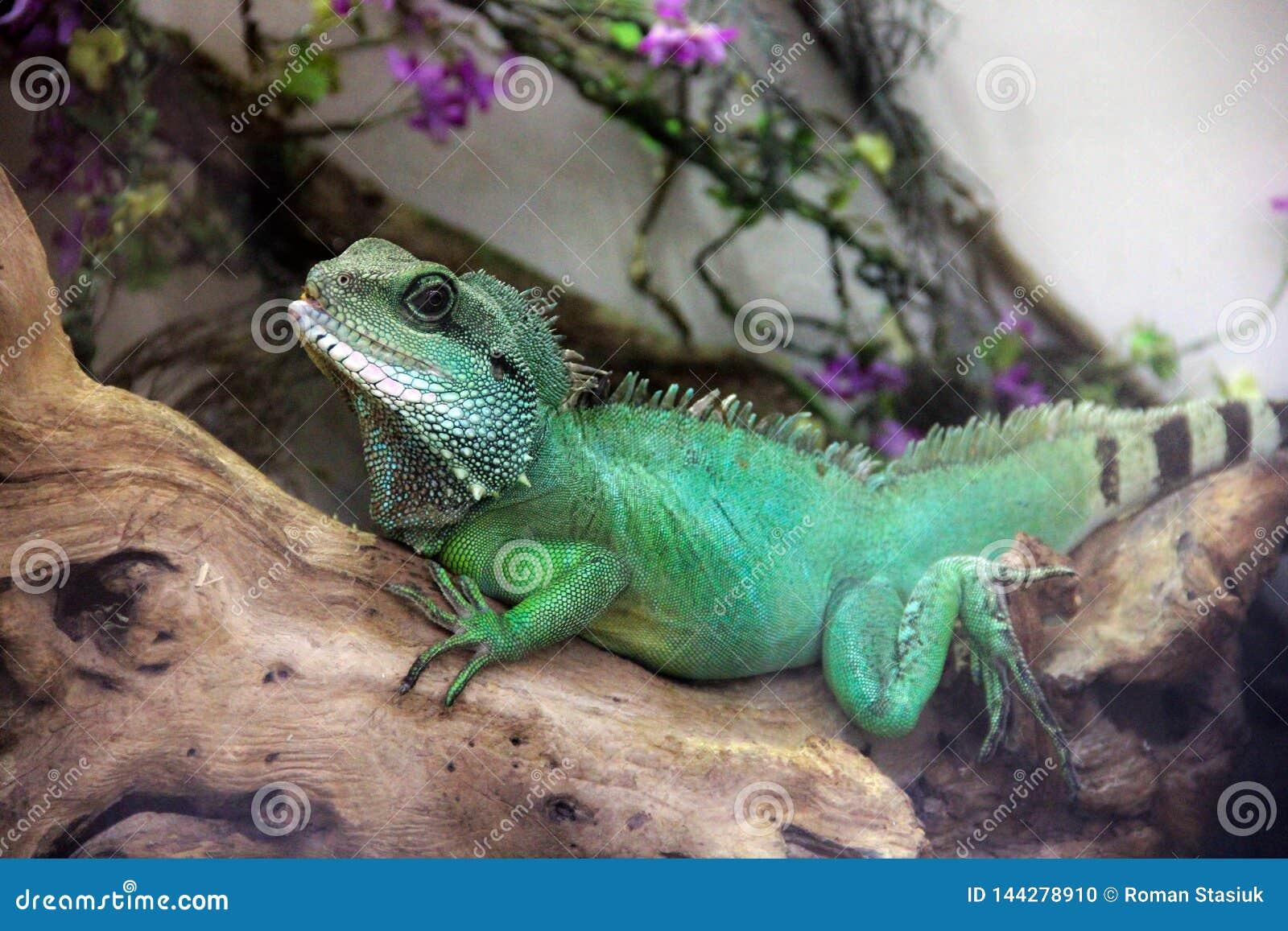 Big lizard in terrarium