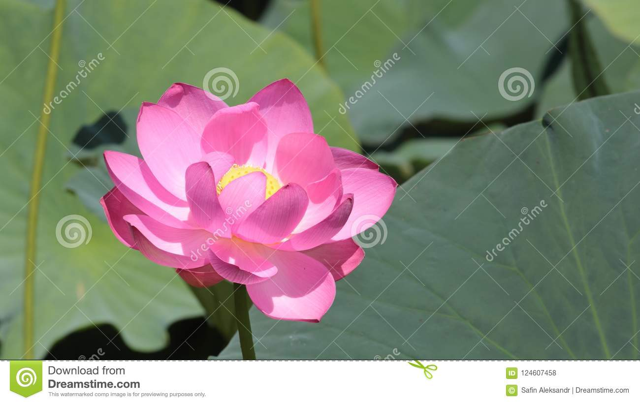 Big lotus flower close up on green leaves background stock photo download big lotus flower close up on green leaves background stock photo image of lotus mightylinksfo