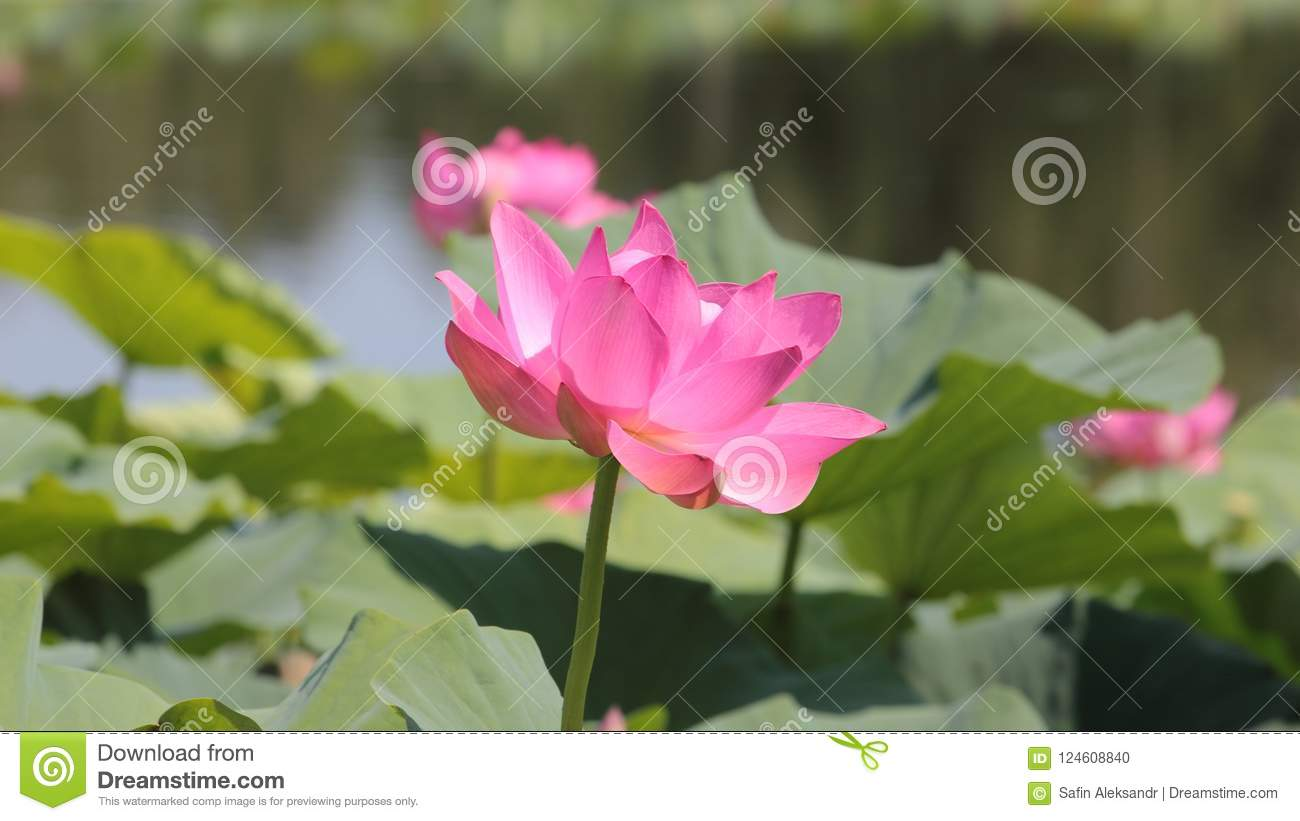 Big lotus flower close up on green leaves background stock photo download big lotus flower close up on green leaves background stock photo image of background mightylinksfo