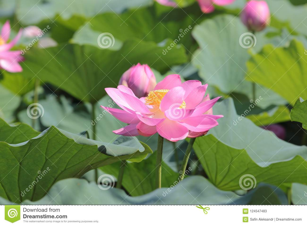 Big Lotus Flower On Green Leaves Background Stock Image Image Of
