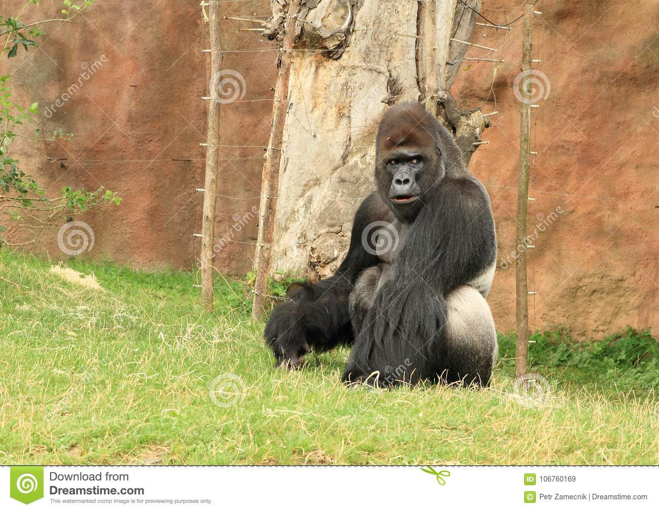 big male gorilla sitting on grass stock image image of furry
